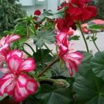 Çiçekleri böceklerden korumak ve temizlemek için neler yapmalı?
