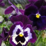 Menekşelerin daha çok çiçek açması için neler yapmalıyız?